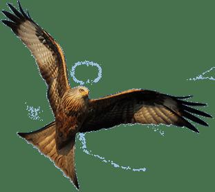 Glada_Fågel